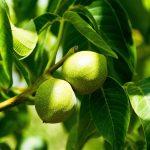 گمنامی قطب تولید گردوی استان فارس ، گردو اقلید